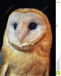 Barn Owl Portrait With Black Background Stock Photo - Image: 78785008 Black Barn Owl Oc Eclipse By Pkhound On Deviantart Closeup Of A Stock Photo 513118776 Istock Birds Of The World Owls This Galapagos Barn Owl Lives With Its Mate A Shelf In The Started Black Paper Today Ref Paul Isolated On Night Stock Photo 296043887 Shutterstock Stu232 Flickr Bird 6961704 Moonlit Buttercups Moth Necklace Background Image 57132270 Sd Falconry Mod Eye Moody