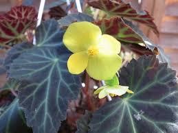 auc gifuryokuen rakuten global market bulbs of begonia parka 5