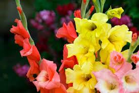 liatris blazing flowers