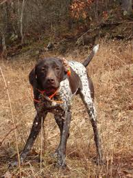 German Shorthaired Pointer Shedding by Pointer Dog Shipping Rates U0026 Services