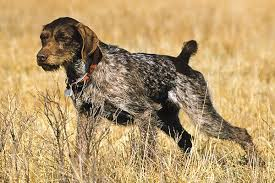 german shorthaired pointer shed breed profile german wirehaired pointer gun magazine