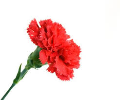 Carnation red Flowers Pinterest