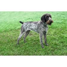 German Wirehaired Pointer Shedding by German Wirehaired Pointer Dog Breeds Dog Com