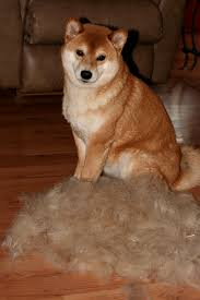 do shiba inus shed hair rowdy rover do shibas shed