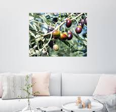 posterlounge wandbild olivenbaum im sonnenlicht otto