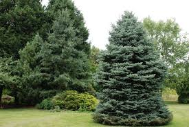 Baltimore County Christmas Tree Recycling 2015 by What Grows There Hugh Conlon Horticulturalist Professor