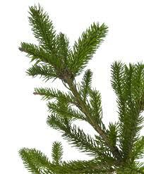 Nordmann Fir Christmas Trees Wholesale by Trees U0026 Pricing Nordmann Fir Christmas Tree London Surrey
