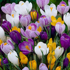 buy large flowering crocus bulbs crocus mixed colours delivery