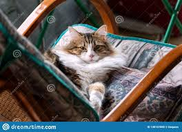 White And Brown Striped Cat On A Rocking Chair Stock Image ...