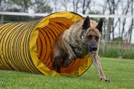 Best Hunting Dogs That Dont Shed dutch shepherd