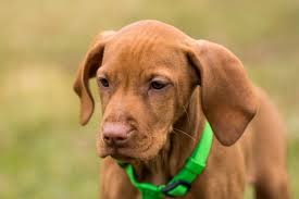 Vizsla Dog Breed Shedding by Breed Of The Month Vizsla Care Com Community