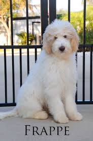 Do F1 Sheepadoodles Shed by 239 Best Dogs Images On Pinterest Animals Puppies And Toy Poodles
