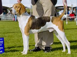 Do Treeing Walker Coonhounds Shed by Treeing Walker Coonhound Dog Spotters