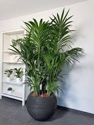 exklusive zimmerpflanze kentia palme kaufen große