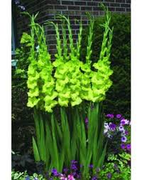 gladiolus lower classifications search foliage