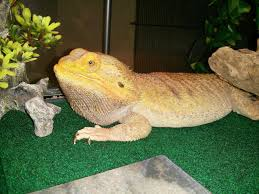 Bearded Dragon Shedding Nostrils by Shedding Discussion Long Post Is Looooong Reptiles