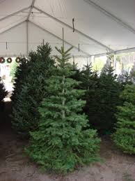 10 Noble Fir Artificial Christmas Tree by Fresh Christmas Trees Peeinn Com