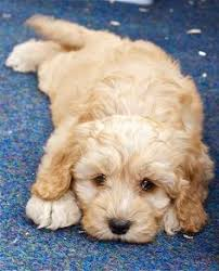 cockapoo i will have you one day puppy love pinterest