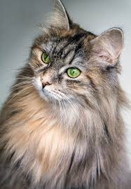 haired cat free photo cat feline green hair free image on