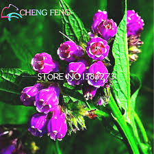 aliexpress buy 100 seeds comfrey flower seeds new home