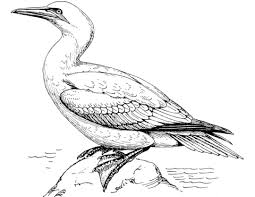 Click To See Printable Version Of Northern Gannet Coloring Page Categories Birds