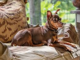Do Miniature Pinschers Shed A Lot by 13 Best Dogs For Apartments Reader U0027s Digest