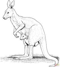 Red Kangaroo With Joey In Pouch