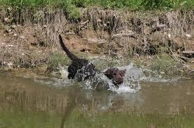 Field Springer Spaniel Shedding by American Water Spaniel