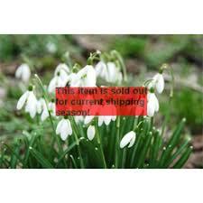 snowdrops bulbs for sale snowdrop plant terra ceia farms