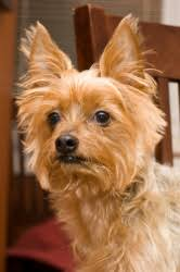 Small Non Shedding Dogs Australia by Facts About Birds Small Hypoallergenic Dogs