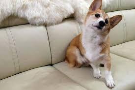 nettoyer pipi de chien sur canapé mon chien détruit tout pendant mon absence