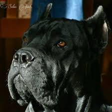 My Cane Corso Shedding A Lot by 23 Best Cane Corso Images On Pinterest Cane Corso Mastiff Cane