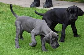 large dog breeds you ll fall in love with dogvills