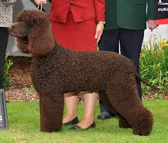 Dogs That Dont Shed Hair Ireland by Irish Water Spaniel Dogs Puppy Irish Water Spaniel Pinterest