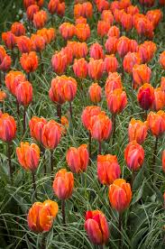 tulip bulbs item 1616 prinses irene for sale