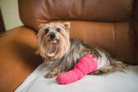 Common Injuries In Dogs Faux Suede Pet Fniture Covers For Sofas Loveseats And Chairs Comfort Research Big Joe Bagimals Dawson The Dog Bean Bag Armchair Shih Tzu Lap On The Stock Photo Image 350298 Dog Cat Chamomile Amazoncom Sure Fit Quilted Throw Sofa Slipcover Taupe King Sitting His Throne 1018169 Shutterstock Antique Asian Chair Chinese Export Wood Carved Dragon Lion Foo Me My Dogcat Fold Out Bed With Protector Available In Dogs Amazoncouk Boxer Destroyed A Leather Armchair Alone At Home Damaged Hound Buttonback Occasional Loaf