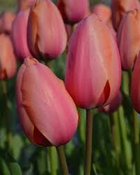 27 best tulip grouping may images on backyard ideas