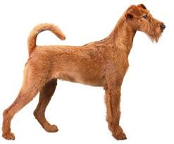 Dog Breeds That Dont Shed List by What Dogs Dont Shed Too Much 100 Images Can I Please Have