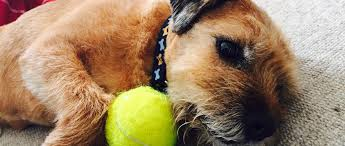 do border terriers moult living with a border terrier
