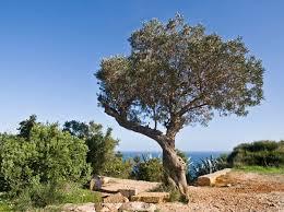olivenbäume überwintern so überwintern sie die oliven