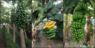 How Tropical Bananas Are Grown On Santa Barbara's Mesa – For The ... 281 Barnes Brook Rd Kirby Vermont United States Luxury Home Plants Growing In A Greenhouse Made Entirely Of Recycled Drinks Traditional Landscapeyard With Picture Window Chalet 103 Best Sheds Images On Pinterest Horticulture Byuidaho Brigham Young University 1607 Greenhouses Greenhouse Ideas How Tropical Banas Are Grown Santa Bbaras Mesa For The Nursery Facebook Agra Tech Inc Foundation Partnership Hawk Newspaper 319 Gardening 548 Coldframes