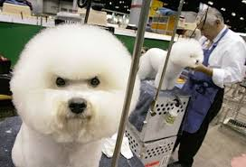 Do Jackie Bichon Shed by I Cannot Believe I Have This Stupid Haircut U2014 Cute Overload