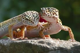 Do Leopard Geckos Shed by The Ultimate Guide To Breeding Your Pet Leopard Gecko