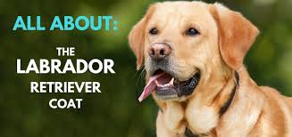 Do All Dogs Shed Fur by Labrador Retriever Coat U2013 Facts Care Grooming U0026 Shedding
