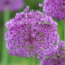 allium bulbs item 6023 purple sensation for sale