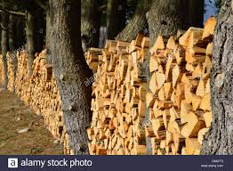rows of stacked firewood wedged in between trees stock photo