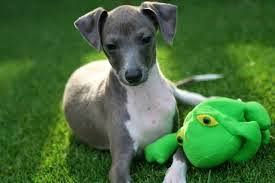 Do Italian Greyhounds Shed A Lot by Hypoallergenic Dog Breeds Luv My Dogs