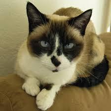 snowshoe cat snowshoe cat rescue network