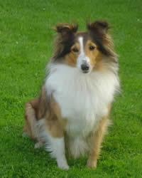 shetland sheepdog breed history temperament care training
