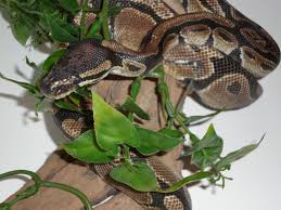 royal pythons true kings of the vivarium reptile apartment